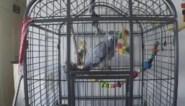 Papegaai uit Antwerpen vloekt hele stad bij elkaar als hij niet genoeg aandacht krijgt