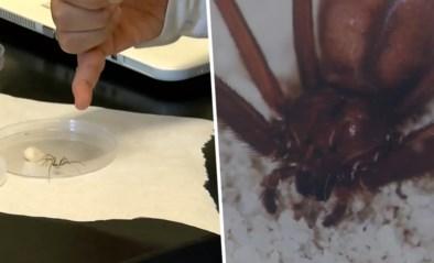 Nieuwe soort huisspin ontdekt die zich in meubels verbergt en vlees doet rotten met slechts één beet