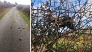 Hannah ziet prachtige zwerm spreeuwen vliegen, een halfuur later liggen die allemaal dood op de weg