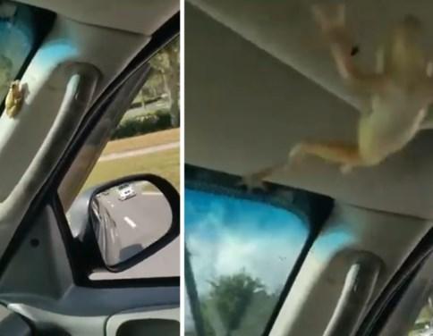 Man panikeert en crasht bijna als hij dit schattige diertje in zijn auto ontdekt