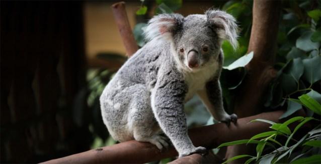 """Vierde koala in twee jaar overleden in Pairi Daiza: """"We onderzoeken het, maar mogelijk blijft het altijd een raadsel"""""""