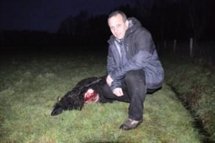 """Nieuwe wolf dwaalt rond in Antwerpse Kempen: """"Ik verwacht snel een telefoontje van een andere schapeneigenaar"""""""