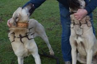 Schapenboer neemt extreme maatregelen tegen wolf, buurtbewoners dienen klacht in