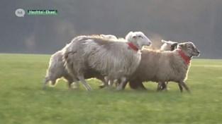 VIDEO. Kwalificaties WK schapendrijven in Hechtel-Eksel
