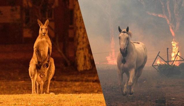"""Al 480 miljoen dieren omgekomen in Australische bosbranden: """"We zullen hun lichamen waarschijnlijk nooit vinden"""""""