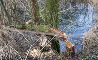 """Bever rukt verder op in Vlaamse Ardennen: """"Maar een exacte locatie geven we niet, want we willen niet dat mensen de dieren opjagen"""""""
