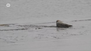 VIDEO. Ze duiken steeds vaker op in de Schelde en dus volgen medewerkers Dierenopvangcentrum een cursus EHBO... voor zeehonden