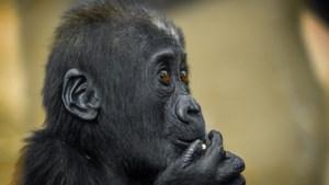 Dierentuinen verwelkomen bedreigde dieren: Planckendael plant orang-oetans in serre, Zoo stopt witte neushoorns in oud varkensgebouw