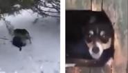 Hartverwarmend: hond redt bijna bevroren kat door haar naar hondenhok te brengen