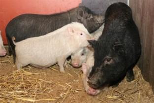 """Jonas redde dertien hangbuikzwijntjes in Nederland: """"Ze waren aanvankelijk erg wantrouwig"""
