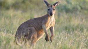 Carrefour stopt met verkoop van kangoeroevlees