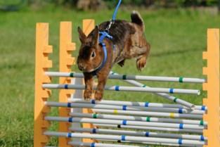 Binnenkort in België: jumping voor konijnen