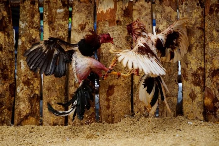Inval tijdens illegaal hanengevecht: hanen gered van de dood, en dan toch nog moeten sterven