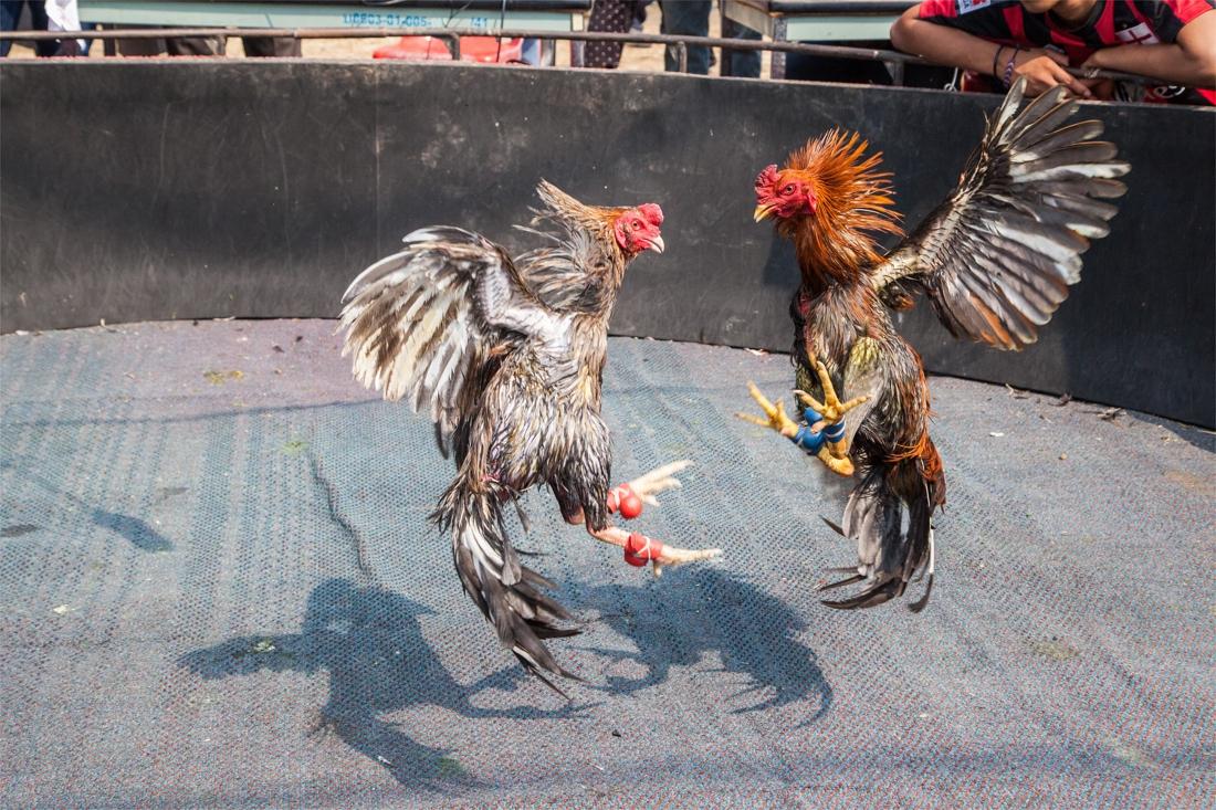 Gaia dient een klacht in tegen hanenvechters uit Hoeselt