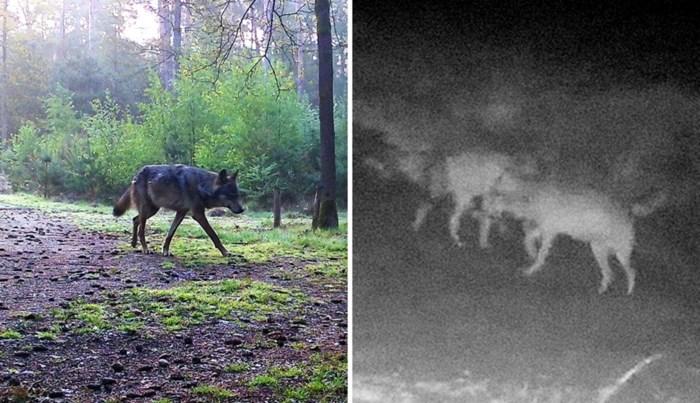Tinder voor wolven bestaat niet en toch liep Noëlla van honderden kilometers ver recht in de poten van August