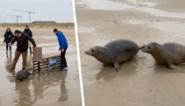 Schattige beelden: Sea Life laat twee zeehondjes vrij op strand van Blankenberge