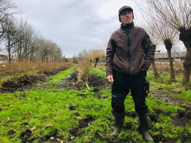 """Everzwijnen richten enorme ravage aan in bessenplantage: """"Overheid moet eindelijk beseffen dat ze een plaag zijn"""""""