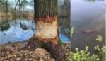 Knaagsporen opgemerkt in kleiputtengebied