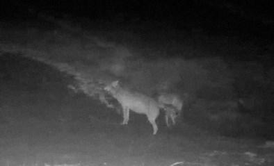 """Ook leger schiet wolven August en Noëlla te hulp: """"Als beleid niet wordt bijgestuurd, zijn ze ten dode opgeschreven"""""""