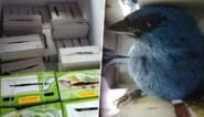 Belg opgepakt in Peru met twintig levende vogels in zijn koffer