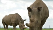 Laatste mannetje overleed 2 jaar geleden, maar toch is er hoop: wetenschap moet neushoornsoort redden