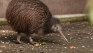 Nieuw-Zeeland maakt zich zorgen om nationaal symbool: inwoners gevraagd om de kiwi te helpen