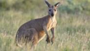 Gaia wil importverbod op kangoeroevlees