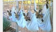 Overal in Vlaanderen wordt gehaakt en gestikt voor gewonde dieren, maar Australië neemt voorlopig geen buidelzakken meer aan