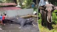 Schokkende beelden: vastgeketende olifant wordt geslagen in boeddhistische tempel