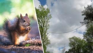 """Eekhoorn terroriseert """"brug"""" in Gent, soortgenoten krijgen eigen oversteek"""