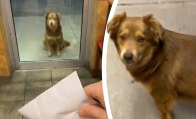 """Hongerige straathond bezoekt restaurant """"een jaar lang elke dag"""" en wacht geduldig op eten"""