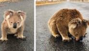 Uitgedroogde koala moet regenwater van asfalt drinken