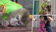 """Vastgeketende aapjes in jurken en make-up gedwongen om toeristen te vermaken: """"Slavernij"""""""