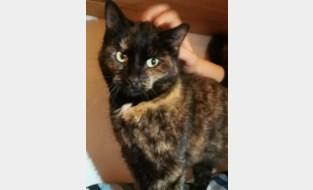 Vermiste kat uit Lebbeke duikt tien maanden later op in Leuven, meer dan 50 kilometer verder
