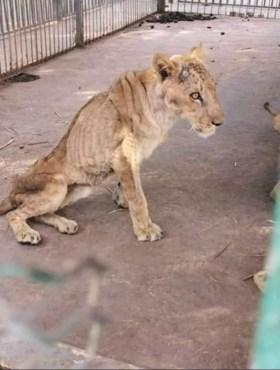 """Campagne gestart om gruwelijk ondervoede leeuwen in dierenpark te redden: """"Ze zijn ernstig ziek"""""""