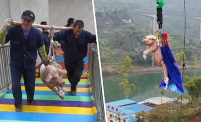 Chinees pretpark dwingt varken tot bungeesprong om meer bezoekers te lokken