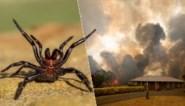 """Na bosbranden, overstromingen en hagel dreigt in Australië nu ook een plaag van """"de gevaarlijkste spinnen ter wereld"""""""