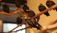 Illegale beo-vogels in beslag genomen
