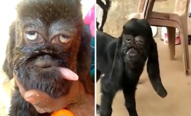 Bizar: gemuteerd lammetje met menselijk gezicht wordt als god vereerd