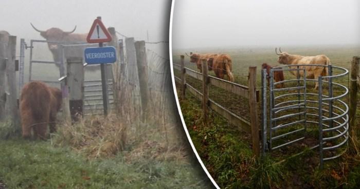 """""""Ongelofelijk en ongezien"""": kalf ontsnapt via beveiligd draaipoortje voor bezoekers uit natuurpark Zwin"""