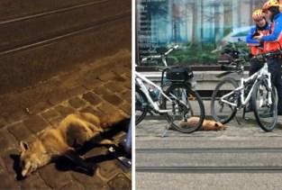 Dood vosje in het centrum van Gent