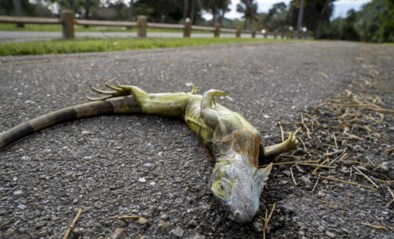 """Inwoners Florida krijgen opvallend weerbericht te horen: """"Opgepast voor vallende hagedissen"""""""