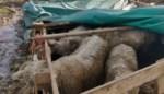 """Voor het eerst krijgen dierenbeulen effectieve gevangenisstraf, minister Weyts """"verwacht dat die ook uitgevoerd worden"""""""