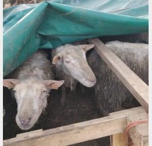 Landbouwerskoppel wil celstraf voor dierenverwaarlozing aanvechten in beroep