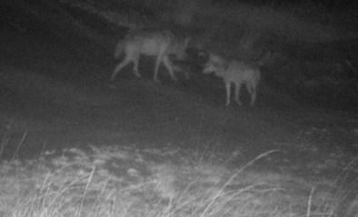"""Welkom Wolf: """"Derde wolf in Nationaal Park Hoge Kempen"""""""