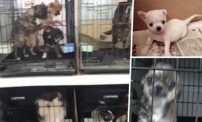 Politie redt 270 honden uit illegale fokkerij: stembanden doorgesneden zodat ze buren niet zouden alarmeren met geblaf