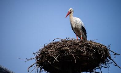 Nu al ooievaars op hun nest door zachte weer