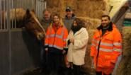 Trekpaarden Junior en Youri houden straten van Schaarbeek proper