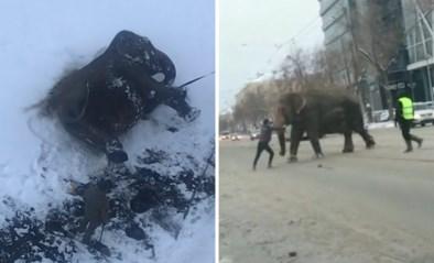 Ontsnapte olifanten zetten stad op stelten en amuseren zich rot in de sneeuw