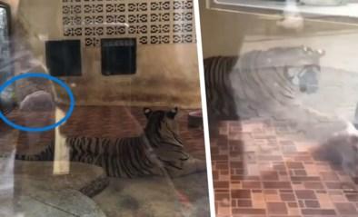 Dierentuin onder vuur na bizarre 'show' waarbij personeel twee biggetjes in tijgerverblijf opsluit